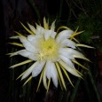 Spectacular picture of a Cactus Flower At Night