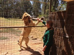 Nana Lesley feeding the lion at the zoo - no grandchildren here
