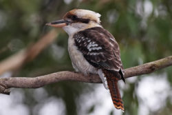 1laughing_kookaburra_feb08