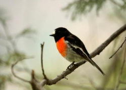 Image of a Scarlet Robin