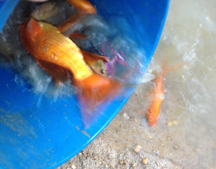 Rescuing goldfish from a drying dam made a good story for Twitter and Facebook