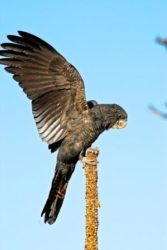Black cockatoos love to eat the seeds from blackboy spikes