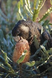 Young black cockatoo feed on a banksia flower