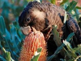 Photo credit Marg Owen Underwood Bushland - young female black cockatoo sipping banksia nectar