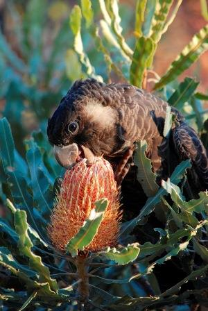 Photo credit Marg Owen Underwood Bushland - young female black cockatoo sipping banksia nectar
