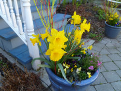 In Toronto, almost every stoop has its bowl of daffodils
