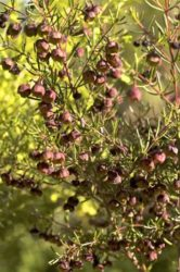 Brown boronia is very popular as a companion cut flower with daffodils.