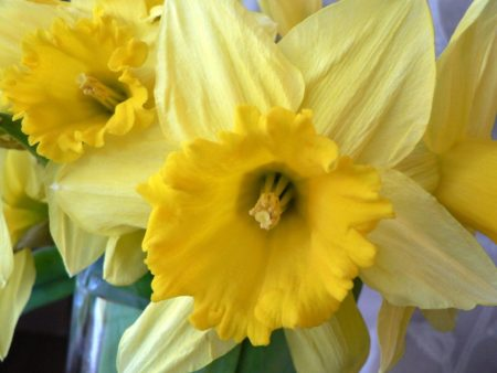 Daffodils are one of the most glorious of spring flowers