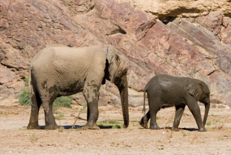 Elephants in the deserts of Namibia on the Skeleton Coast
