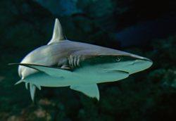 A shark has its eye on the photographer