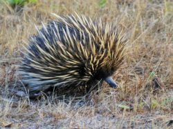 This is our Spiky Echidna