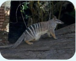Pregnant or not, Numbats eat like an echidna