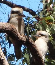 Angus-Kookaburra
