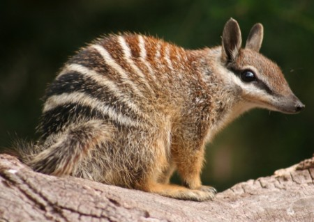 Numbat - photographed at the Perth Zoo