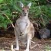 Angus-kangaroos3