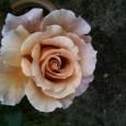 Flower-rose-large1