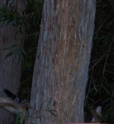 Splinter - caught lurking behind the possum tree in the night.- years later.