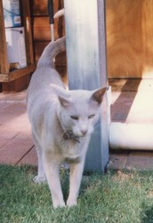 Teng Sing Tung - My beautiful Tonkinese