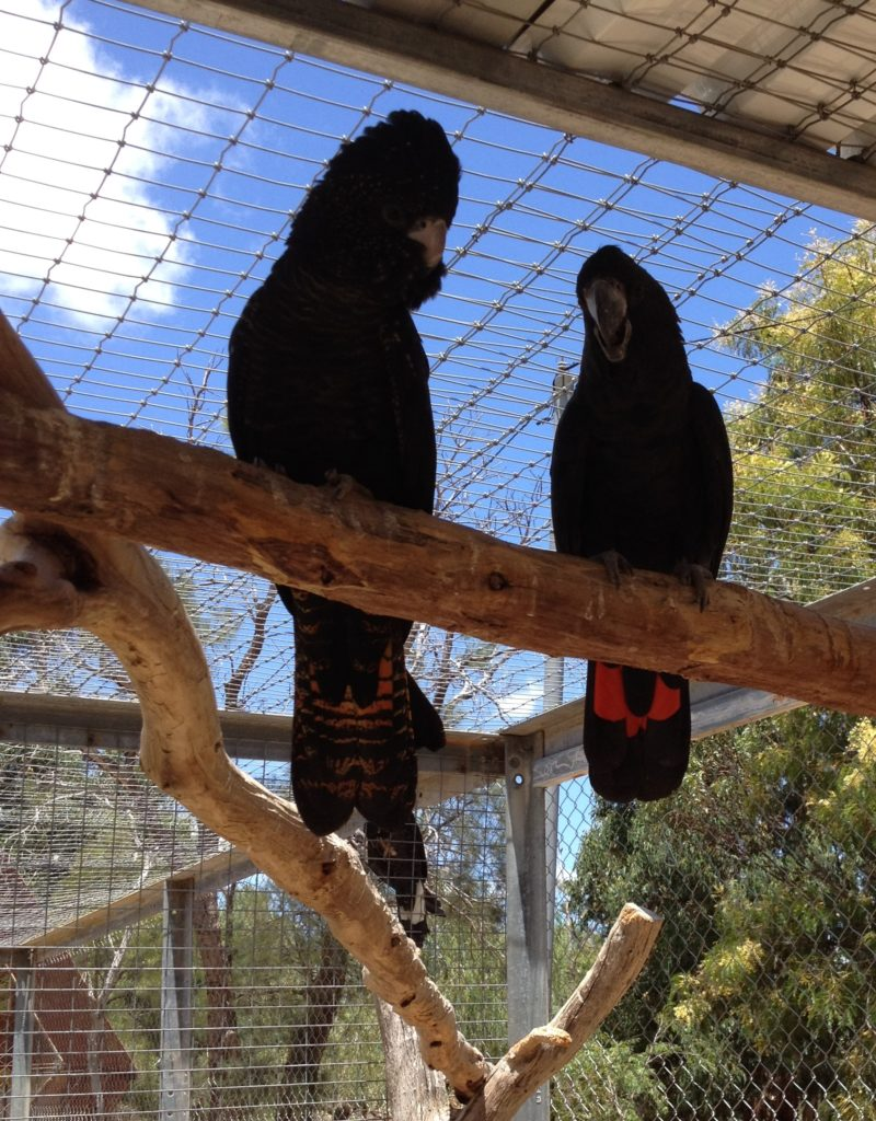 Black Cockatoos Are Starving In Western Australia