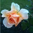 Lesley photographed this rose just around the corner from where she lives in Perth, Western Australia