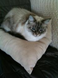 Sasha - on the cushion next to Dad.